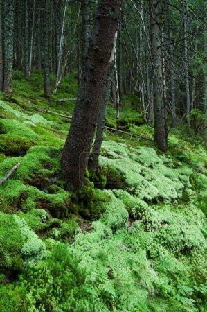 Photo pour Belle forêt dense avec mousse verte douce. L'été dans la forêt d'épinettes de montagne - image libre de droit