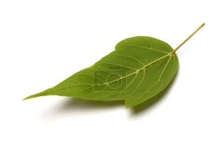 Photo pour Feuille verte sur fond blanc . - image libre de droit