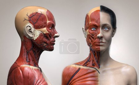 Photo pour Structure humaine de muscles d'anatomie de corps d'une femelle, vue avant et vue de perspective, rendu 3d - image libre de droit