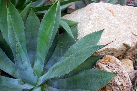 Agave, succulent cactus of mexican origin