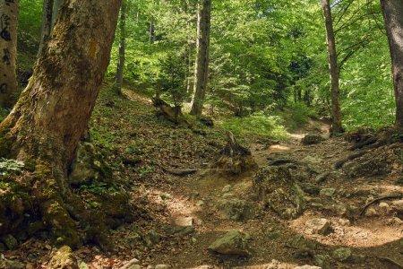 Photo pour Forêt à feuilles caduques avec grands arbres et un sentier de randonnée - image libre de droit