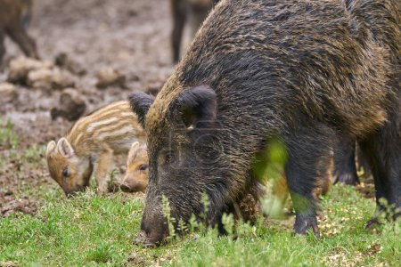 Feral pigs, sow and piglets rooting for food