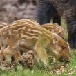 Feral pigs, sow and piglets rooting for food...