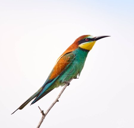 Bee eater bird sitting on branch against clear sky