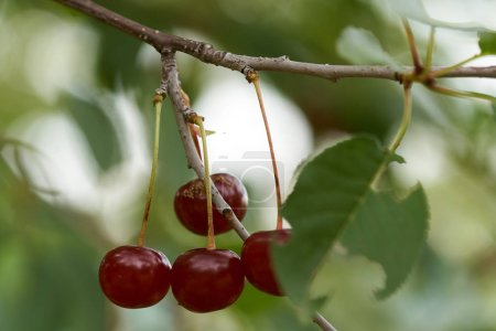 Closeup of red ripe delicious sour cherries on branches