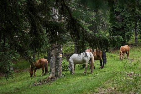Photo pour Troupeau de chevaux bruns pâturant au pâturage en forêt - image libre de droit