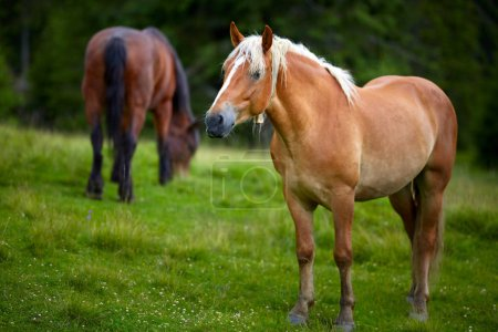 Herd of horses grazing on a pasture by the forest