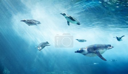 Photo pour Troupeau de manchots plongeurs. Océan sous-marin avec des animaux marins. Rayons solaires passant à travers la surface de l'eau . - image libre de droit