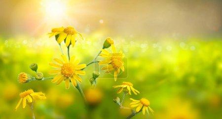 Photo pour Prairie sauvage avec des fleurs jaunes en plein soleil. Tôt le matin. Contexte naturel . - image libre de droit