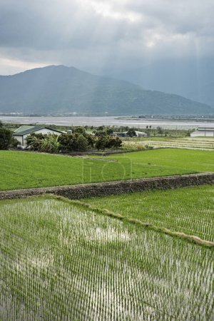 Photo for Rural landscape of green paddy farm - Royalty Free Image