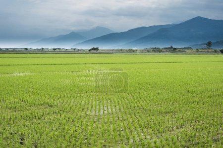 Photo pour Paysage rural de la ferme de paddy vert - image libre de droit