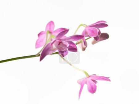 Photo pour Orchidée pourpre Dendrobium isolée sur fond blanc - image libre de droit