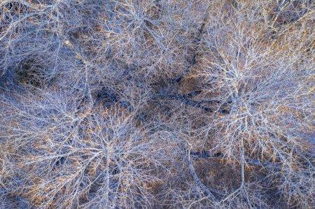 Foto de Árboles álamos sin hojas en invierno, vista aérea superior - Imagen libre de derechos