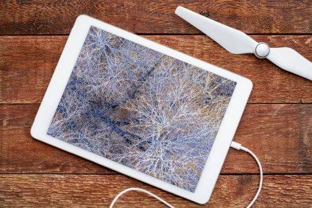 Foto de Árboles álamos sin hojas en invierno, revisando una imagen aérea en un tbalet digital - Imagen libre de derechos