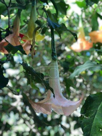 Photo pour Photo de la fleur des trompettes d'ange ou Brugmansia, un genre de sept espèces de plantes à fleurs de la famille des Solanacées qui sont des arbres ou des arbustes ligneux, avec des fleurs pendantes, et qui n'ont pas d'épines sur leurs fruits . - image libre de droit