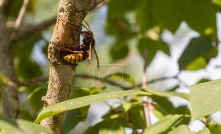 Photo pour Hornet mange l'écorce d'un lilas pour construire le nid - image libre de droit