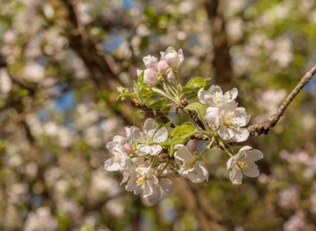 Photo pour Branche de fleur de pomme par une journée ensoleillée de printemps sur un fond flou. espace d'essai - image libre de droit