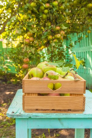 Photo for Apples harvest in a box on a stool in the garden - Royalty Free Image