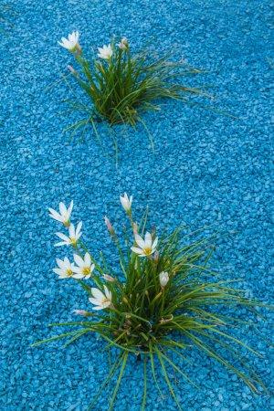 Photo pour Floraison avec les Zephyranthes dans le parc à Kiev en été - image libre de droit