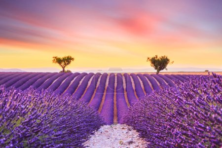 Photo pour Beau coucher de soleil champ de lavande paysage d'été près de Valensole.Provence, France - image libre de droit