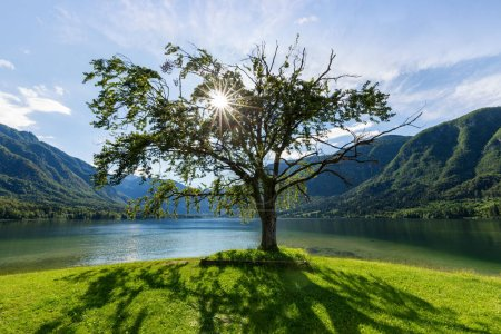 Photo pour Lonely old tree at lake Bohinj in summer, Slovenia. - image libre de droit