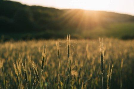 Photo pour Champ de blé au coucher du soleil - image libre de droit