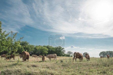 Photo pour Pâturage des vaches à la ferme - image libre de droit