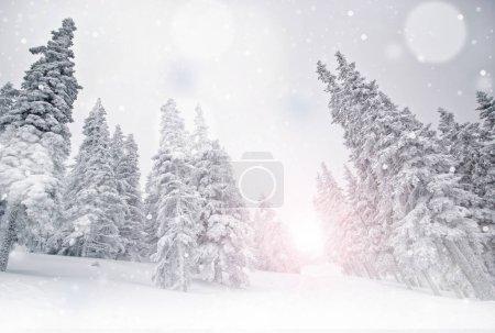 Foto de Paisaje de invierno, árboles de pino cubierto de nieve - Imagen libre de derechos