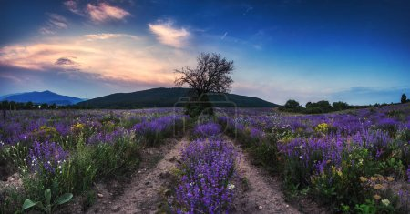 Lavender flower blooming scented fields and lonely tree in endless rows.