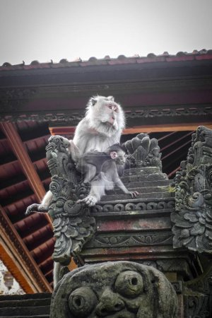 Photo for Monkeys on a temple roof in the sacred Monkey Forest, Ubud, Bali, Indonesia - Royalty Free Image