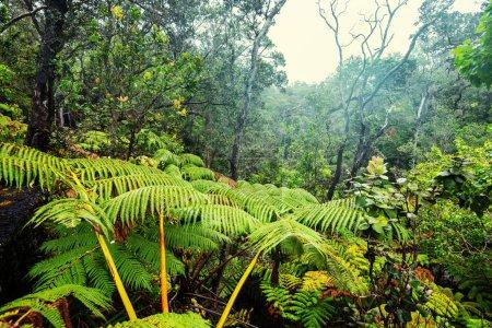Gigant fern trees in rainforest, Hawaii island
