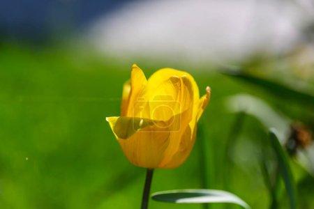 tulip flower close up