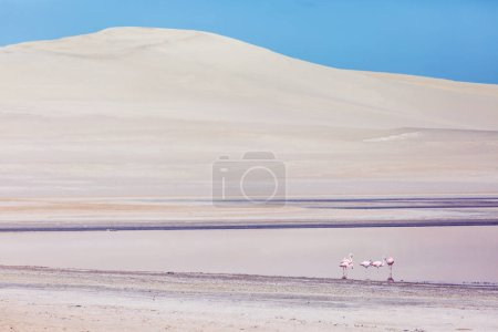 Pink flamingos in the desert of Ica Peru