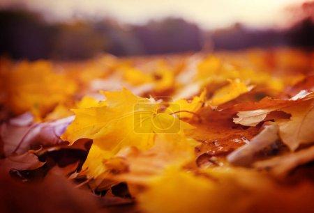 Photo pour Coloré jaune feuilles en automne. Gros plan. Approprié pour l'image de fond. - image libre de droit