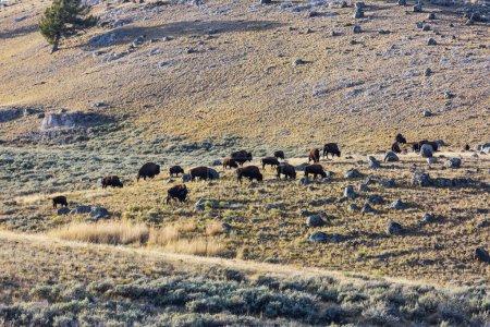 Photo pour Buffalo sauvage dans Yellowstone National Park, États-Unis - image libre de droit