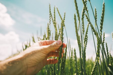 Photo for Farmer examining spelt wheat crop development in cultivated field, close up of hand touching plant ears - Royalty Free Image
