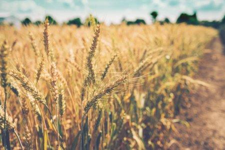 Orejas de cebada maduración en el campo, enfoque selectivo