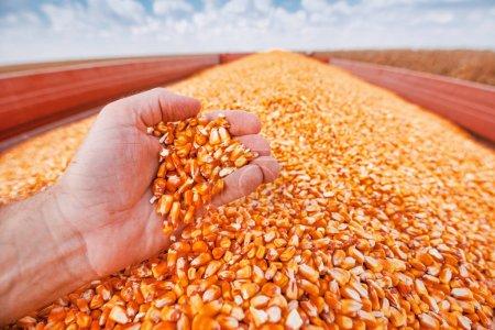 Photo pour Fermier poignée de grains de maïs récoltés à partir du tas chargé dans la remorque tracteur, les mains dans le tas de grains de maïs comme concept d'abondance et un grand rendement après une récolte réussie - image libre de droit