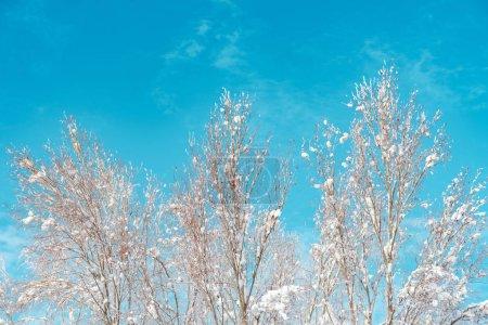 Photo pour Branches au sommet des arbres couvertes de neige, détails de la saison hivernale - image libre de droit