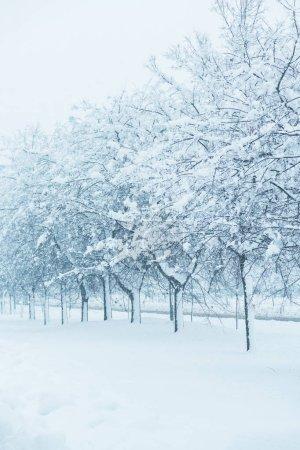 Foto de Ramas de árbol en invierno nieve, detalle de paisaje idílico invierno temporada - Imagen libre de derechos