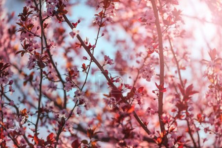 Photo for Wild cherry tree blossom in spring morning, seasonal beauty in nature - Royalty Free Image