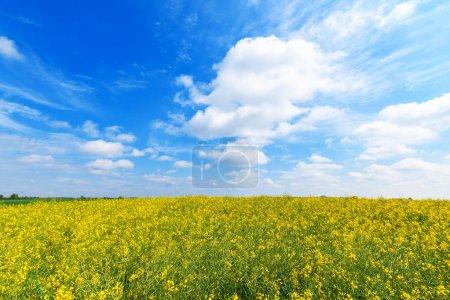 Photo pour Champ de colza en fleurs, plantation de colza cultivé le jour ensoleillé du printemps - image libre de droit
