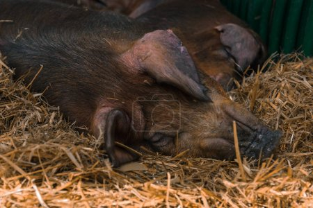 Photo for Danish duroc pigs in pen on livestock farm laying down and sleeping. This breed is well known for its excellent meat quality. - Royalty Free Image