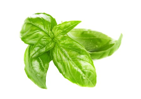 Photo for Home grown green basil leaves - Royalty Free Image