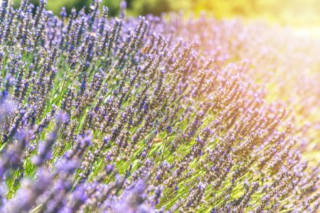 Photo for Closeup bushes of lavender flowers in summer near Valensole, Provence, France - background - Royalty Free Image