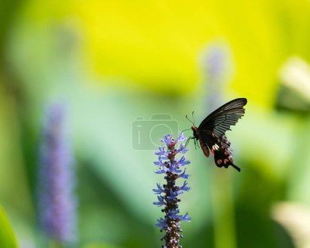 Photo pour Papillon hirondelle noire sur la fleur d'asclépiade - image libre de droit
