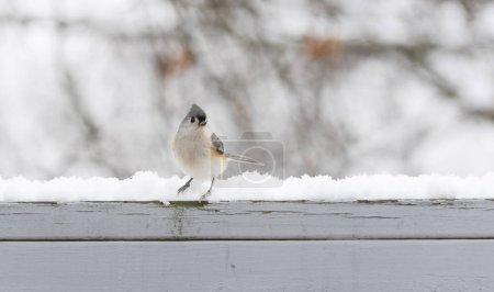 Photo pour Tête de souris touffue en arrière-plan - image libre de droit