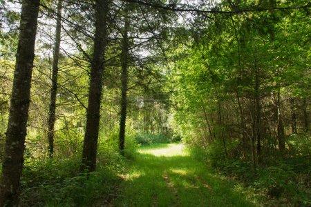 Photo pour Paysage forestier avec soleil et herbe sous les arbres - image libre de droit
