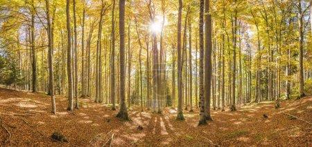 Photo pour Octobre doré dans la belle forêt de hêtres colorés - image libre de droit