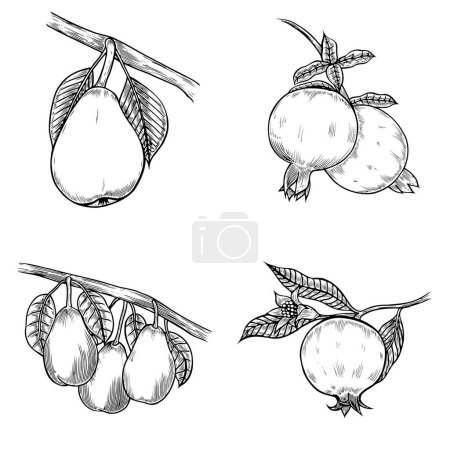 Pomegranate and pear hand drawn illustration. isol...